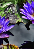 water lilies, purple, steam
