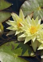 water lilies, three, flowing