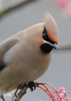 waxwing, bird, branch