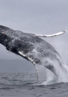 whale, jump, sea