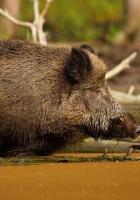 wild boar, vepr, water