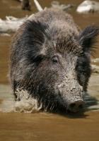 wild boar, wild, dirty