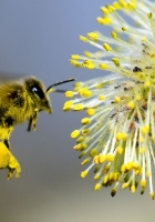 willow, bee pollination, yellow