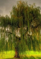 willow, branches, field