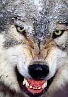 wolf, angry, teeth