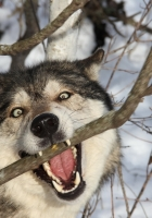 wolf, branch, teeth