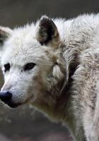 wolf, color, predator