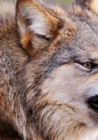 wolf, face, teeth