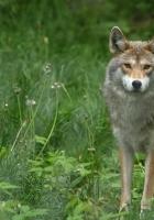 wolf, grass, walk