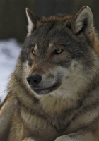 wolf, male, leader