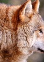 wolf, predator, muzzle