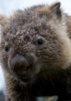 wombat, animal, face