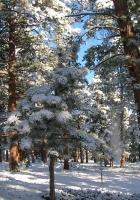 wood, pines, winter