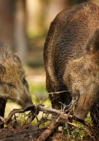 wood, roots, wild boars