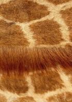 wool, smooth, giraffe