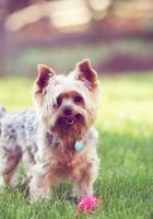 yorkshire terrier, walks, grass