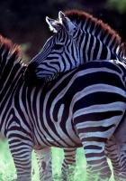 zebra, couple, caring