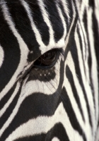 zebra, eye, strips