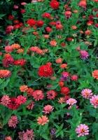 zinnias, flowers, colorful