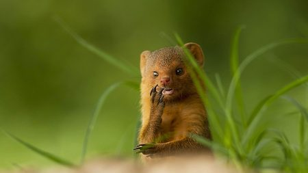 african mongoose, muzzle, small animal