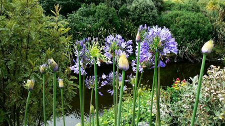 agapanthus, flowers, slope