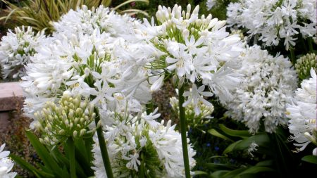 agapanthus, flowers, white