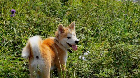 akita inu, dog, grass
