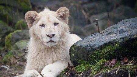 albino, lion, white