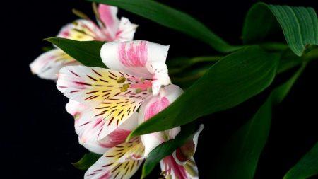 alstroemeria, flower, leaf