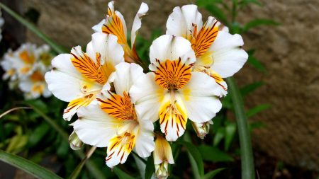 alstroemeria, flowers, flowerbed