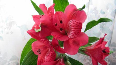 alstroemeria, flowers, red