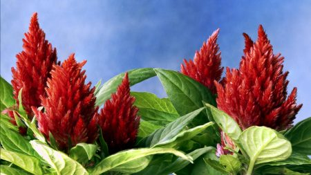 amaranth, red, green
