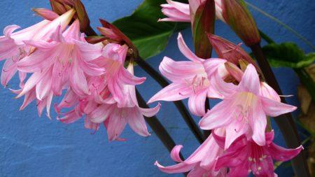 amaryllis, flower buds, close-up