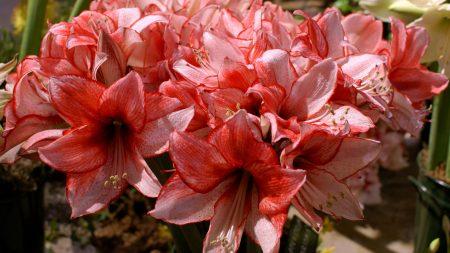amaryllis, flower, stamen