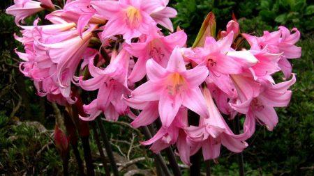 amaryllis, flowers, flowerbed
