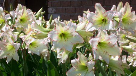 amaryllis, flowers, sunny