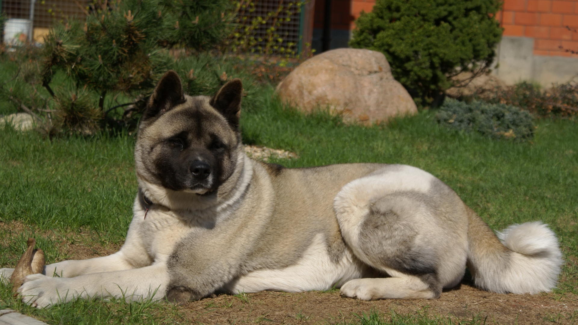 Download Wallpaper 1920x1080 American Akita Inu Dog Black Grass Full Hd 1080p Hd Background