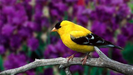 american goldfinch, bird, branch
