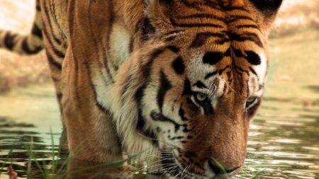 amur tiger, drinking, water