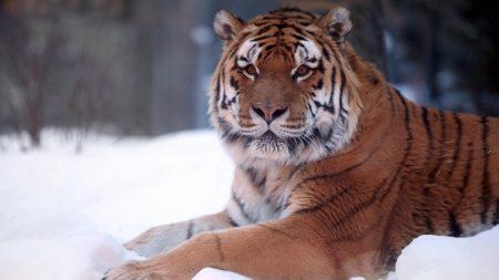 amur tiger, lying, snow