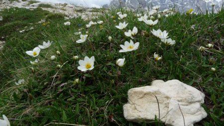 anemone, flowers, stones