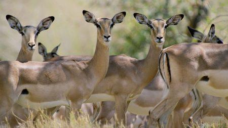 antelope, herd, walking