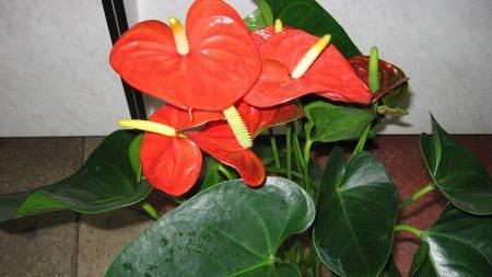 anthurium, flower, indoor
