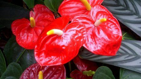 anthurium, flower, red