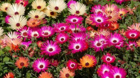 aptenii, flower, flowerbed