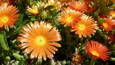 aptenii, flowers, flowerbed