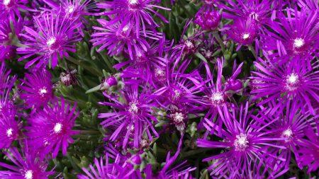 aptenii, flowers, purple