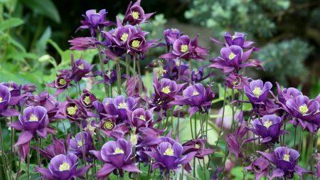 aquilegia, flowers, purple