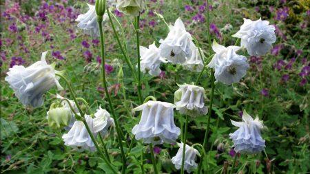 aquilegia, flowers, stems