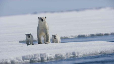 arctic tale, polar bear, bears